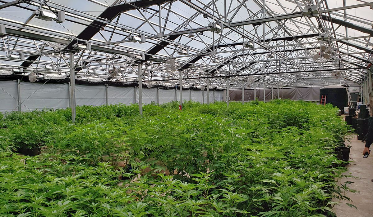 A greenhouse full of healthy, growing hemp plants