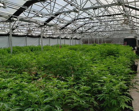 Cannabis Production Greenhouses